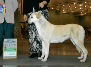 Anatolian Shepherd Showing
