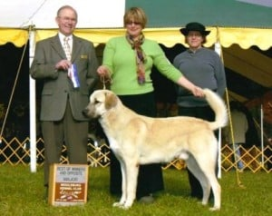 showing Anatolian Shepherd