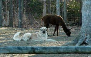 manny&alpaca