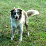 imperted male border collie standing