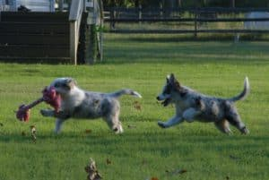 frolicking pups