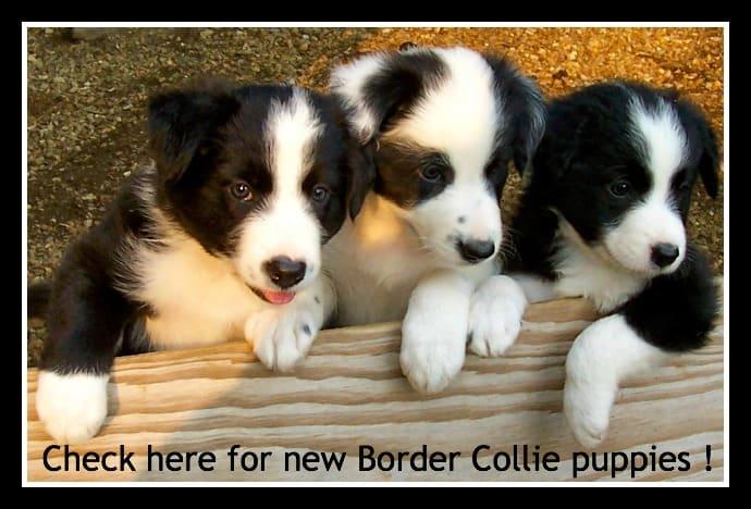 Border Collies -