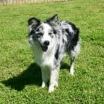 Blue merle border collie male