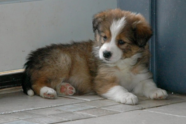 Caring for your Border Collie Pup