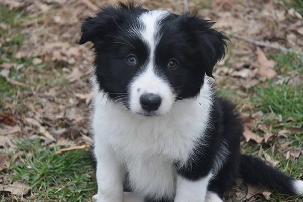 Purchasing a Border Collie Puppy