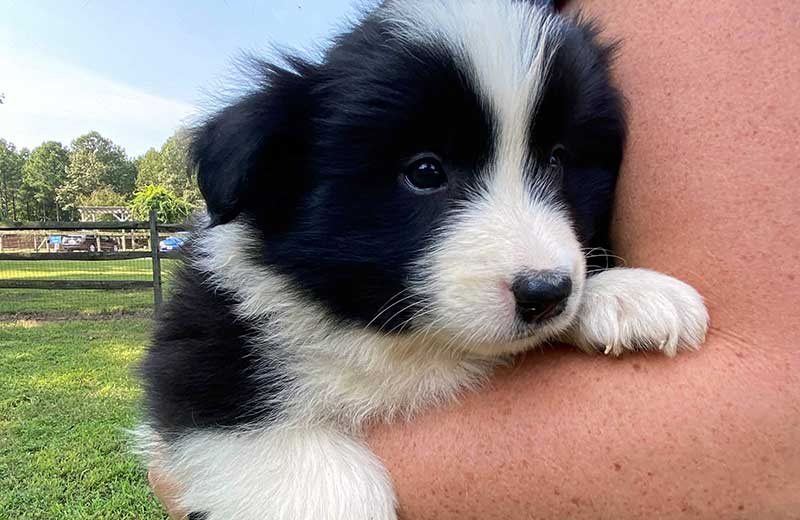Your New Border Collie Puppy