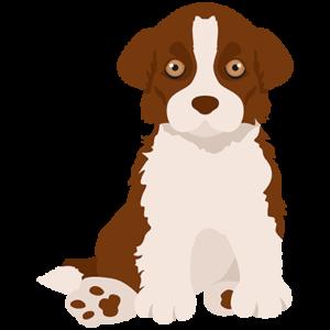 Brown border collie puppy