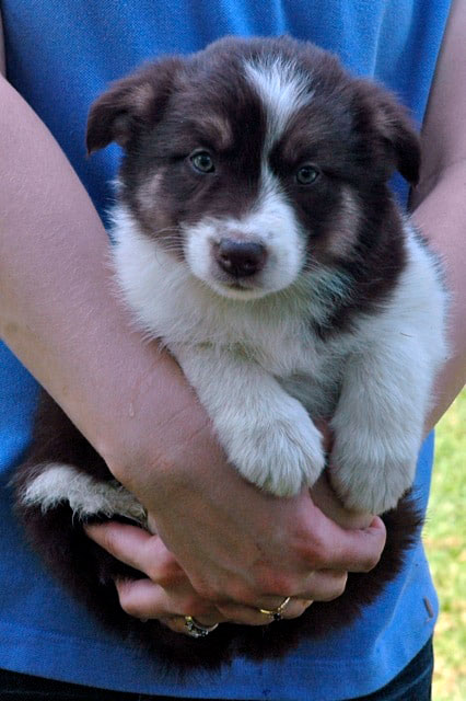 Pickup Your New Border Collie Puppy