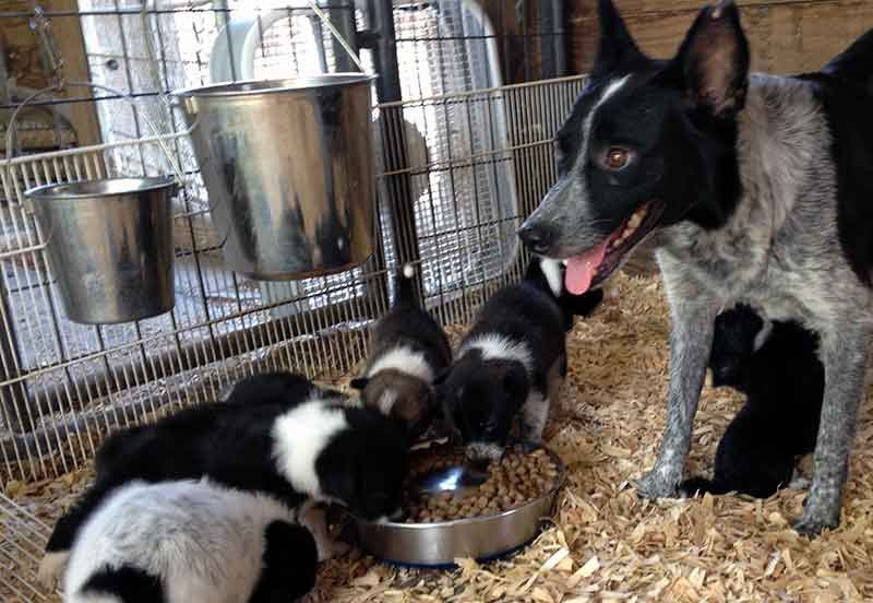 Border Collie Adults and Rescues